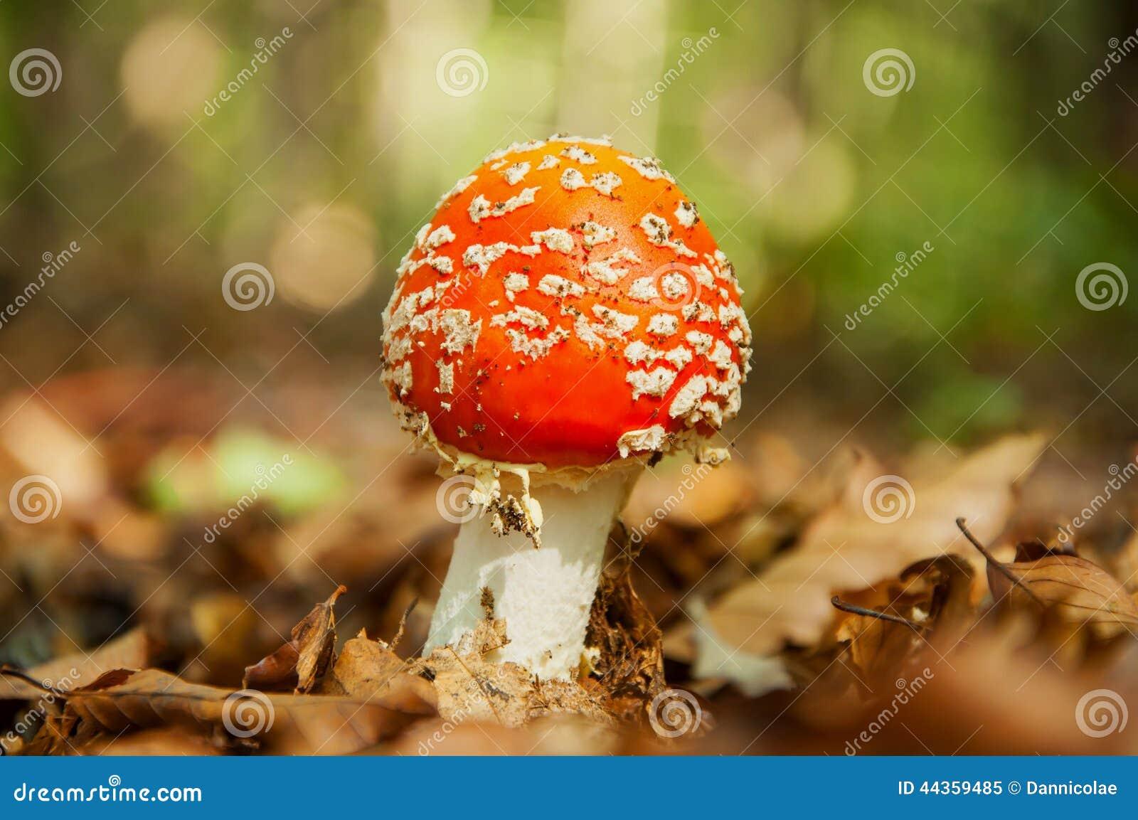 Fungo rosso con i punti bianchi