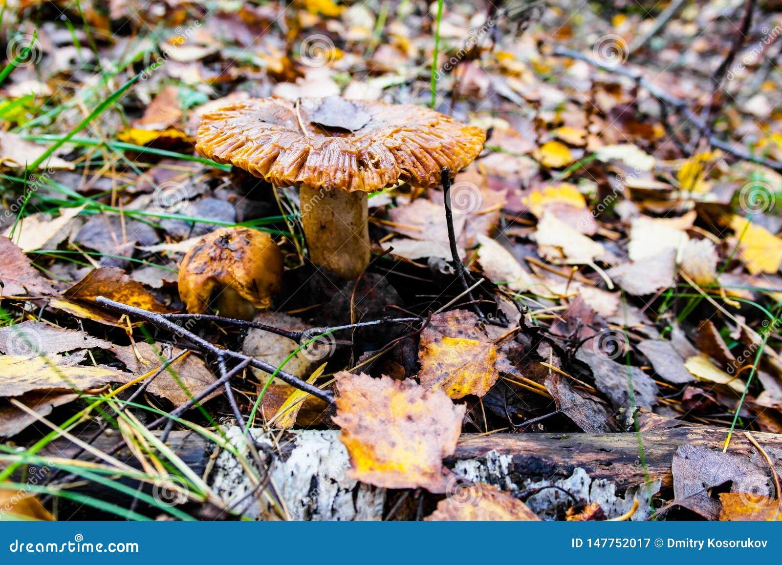 Fungo sotto il fogliame di autunno nella foresta