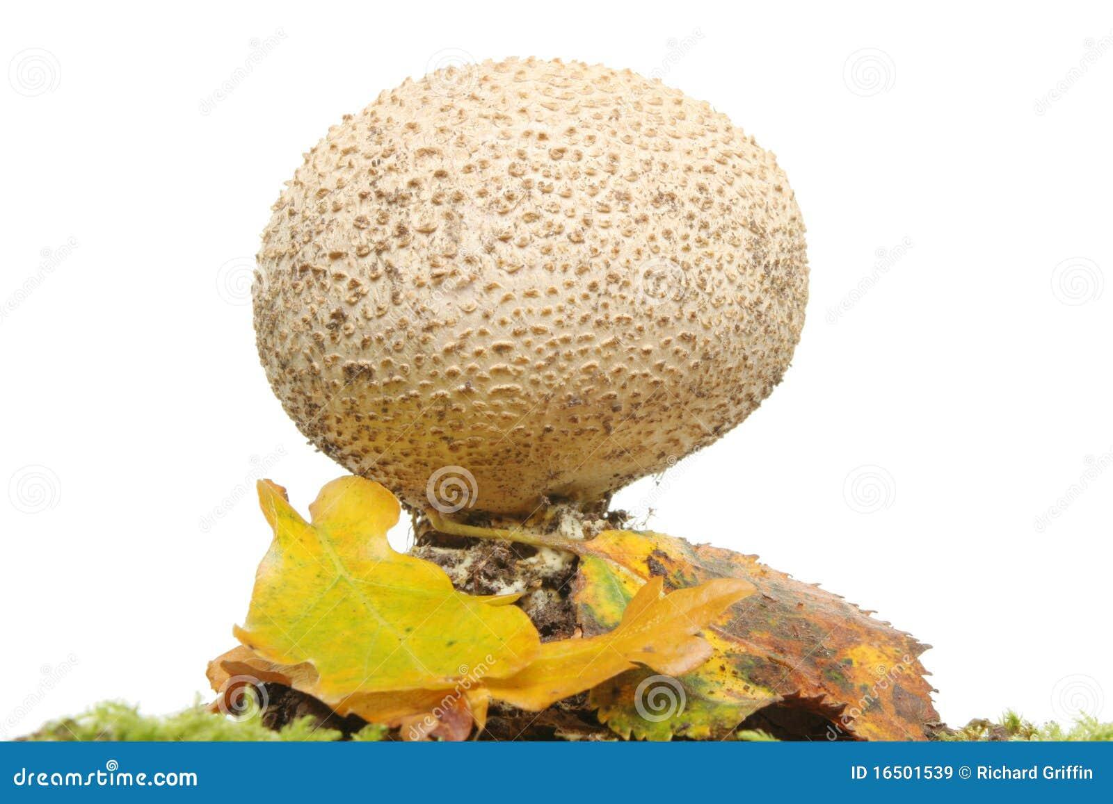 Fungos da esfera do sopro