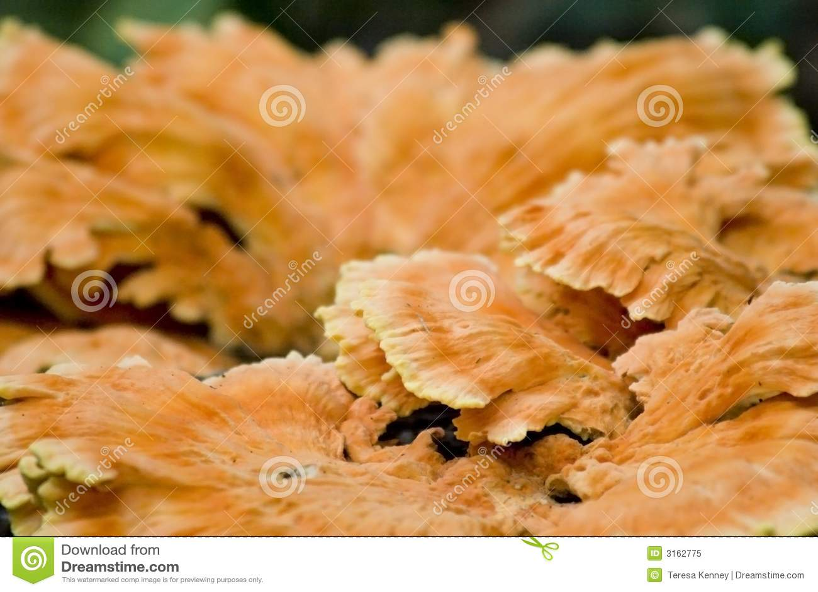 Fungus orange