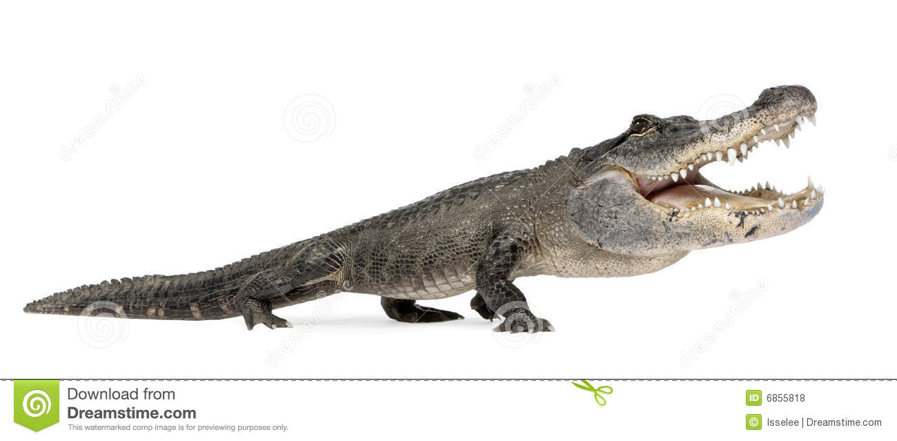 Funny Alligator Royalty Free Stock Photos - Image: 6855818