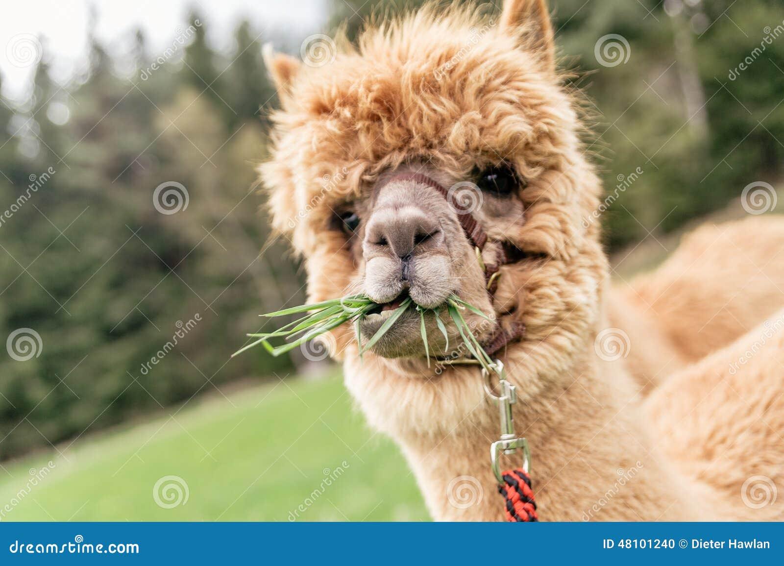 Alpaca dating website