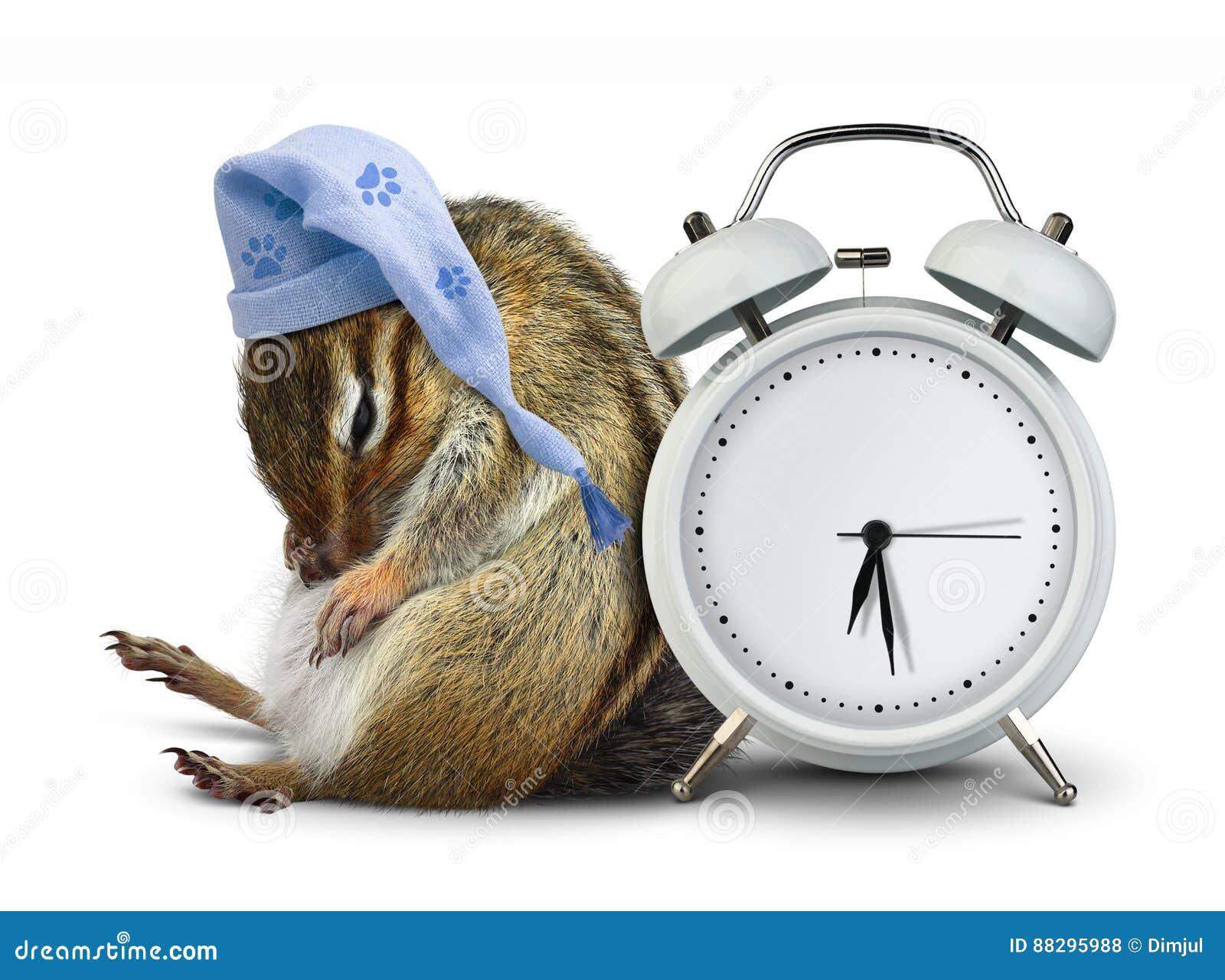 Funny animal chipmunk sleep with clock blank and sleeping hat