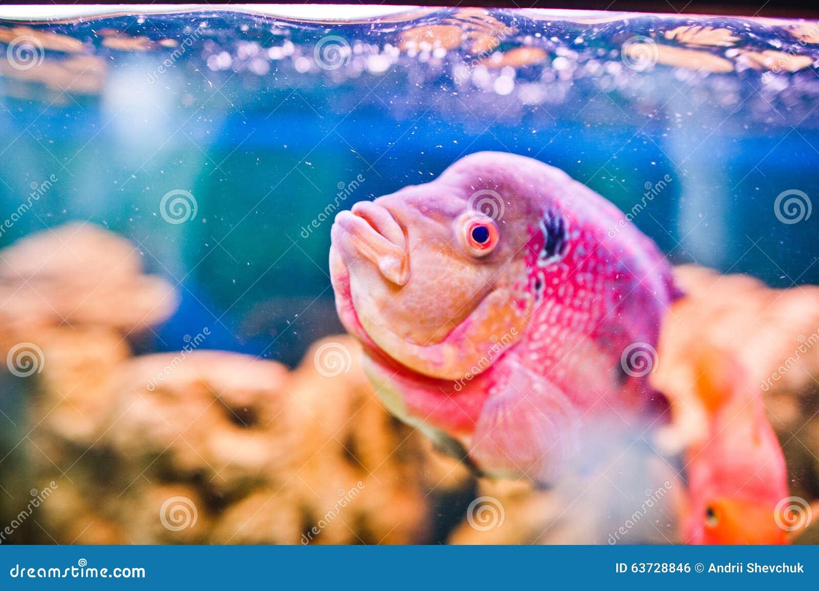Funny Aquarium Fish Stock Photo - Image: 63728846