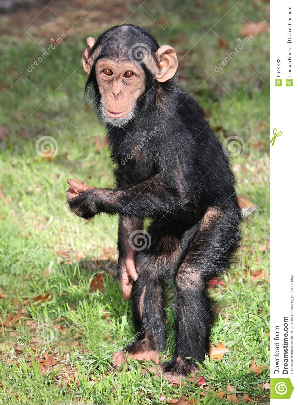 funny baby chimp stock photo image of chimp mammal