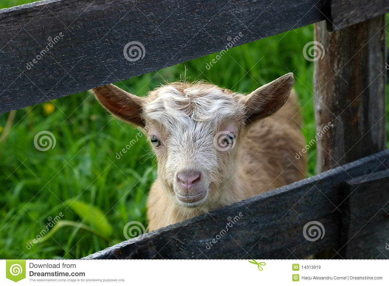 funny baby goat royalty free stock images image 14313919