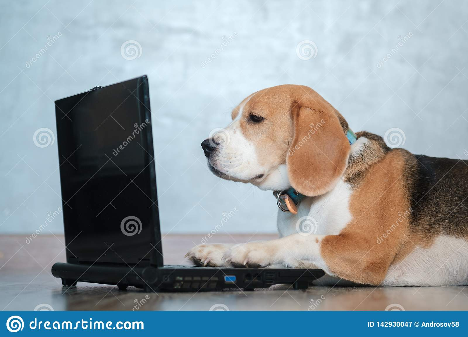 Funny Beagle Dog Looks At The Laptop Screen And Keeps His Paws On The Keyboard Stock Image Image Of Reading Pedigree 142930047