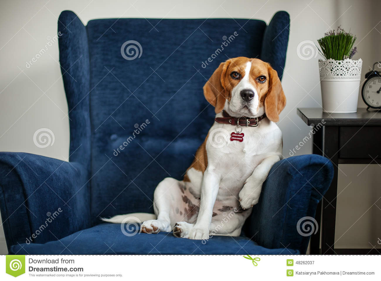 Funny Beagle Dog Sitting In The Chair Like A Boss Stock