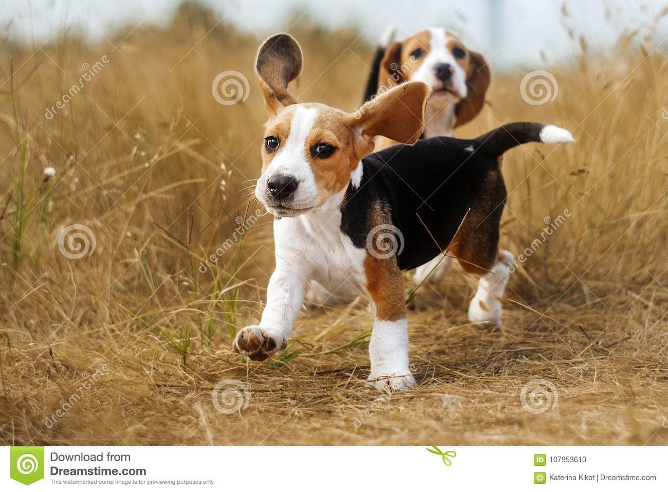 Funny Beagle Puppy Autumn Walk Stock Photo Image Of Nature Dogs 107953610