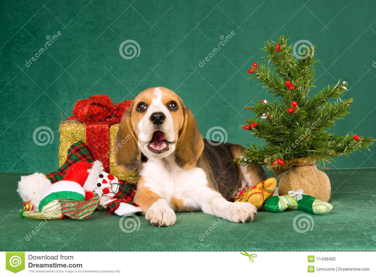 Cute Beagle Puppies Christmas, Beagle Puppy In Red Christmas Gift ...
