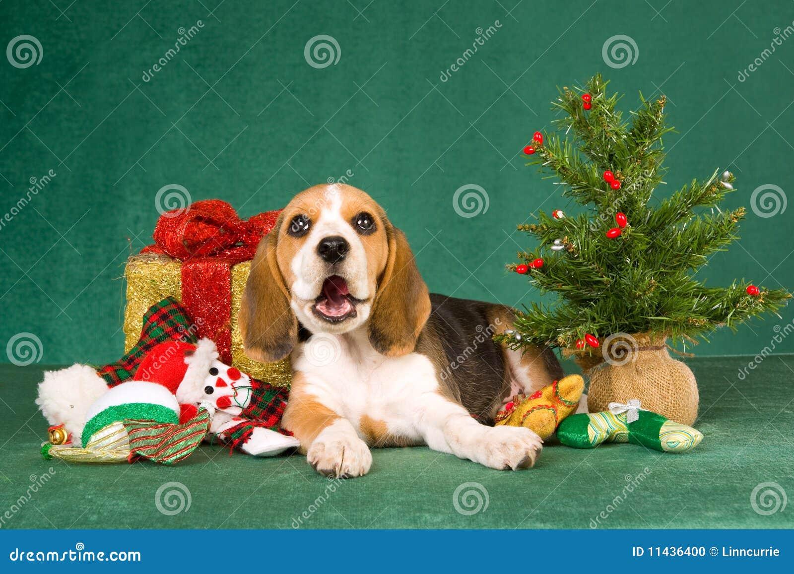 Funny Beagle Puppy With Chrismas Tree Stock Photo - Image: 11436400