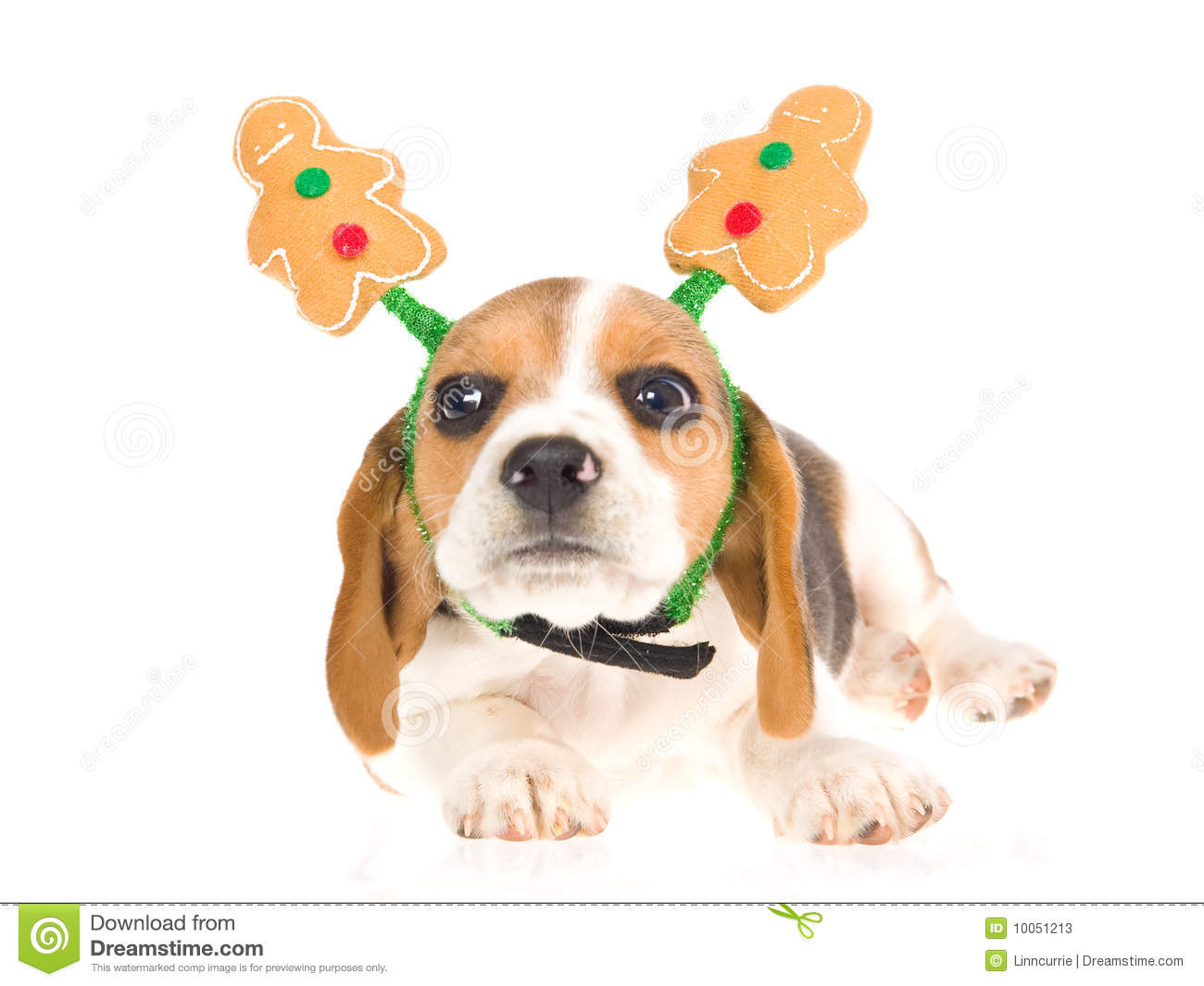 Funny Beagle Puppy Gingerbread Man Hat Stock Photos - Image: 10051213