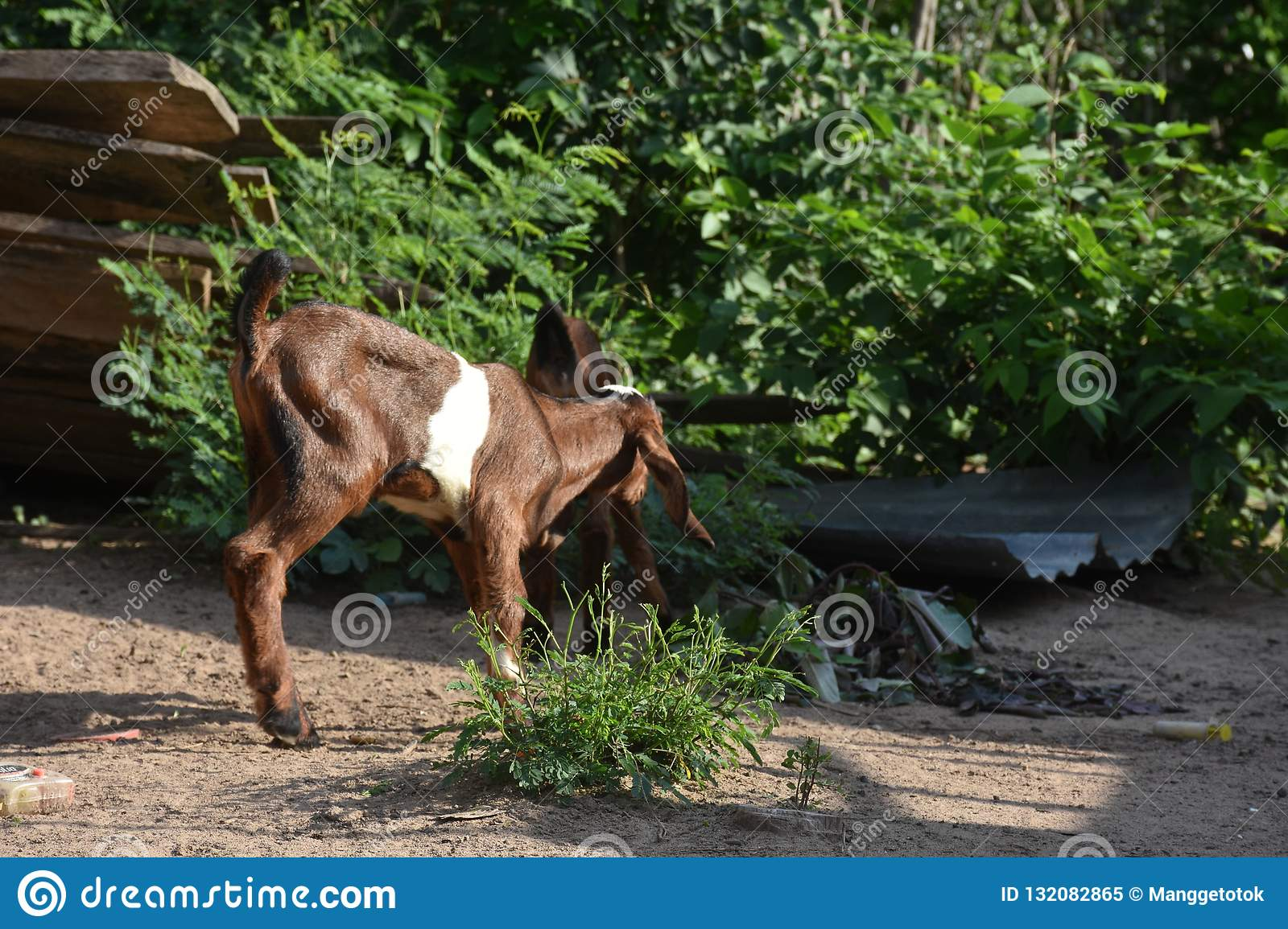 The funny behavior of a small goat
