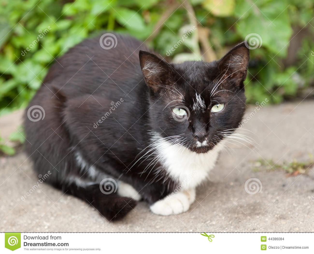 Funny Black And White Cat Stock Photo - Image: 44386084