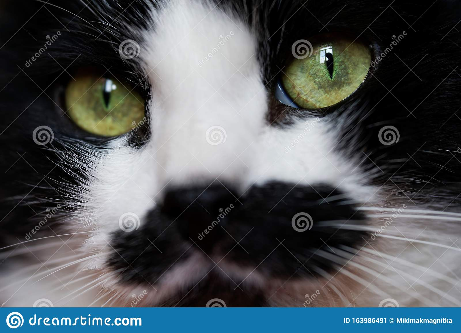 Funny Black And White Cat With An Unusual Face Looks At ...