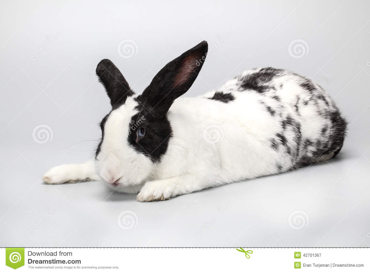 Funny Black And White Rabbit With Blue Eyes Stock Photo ...