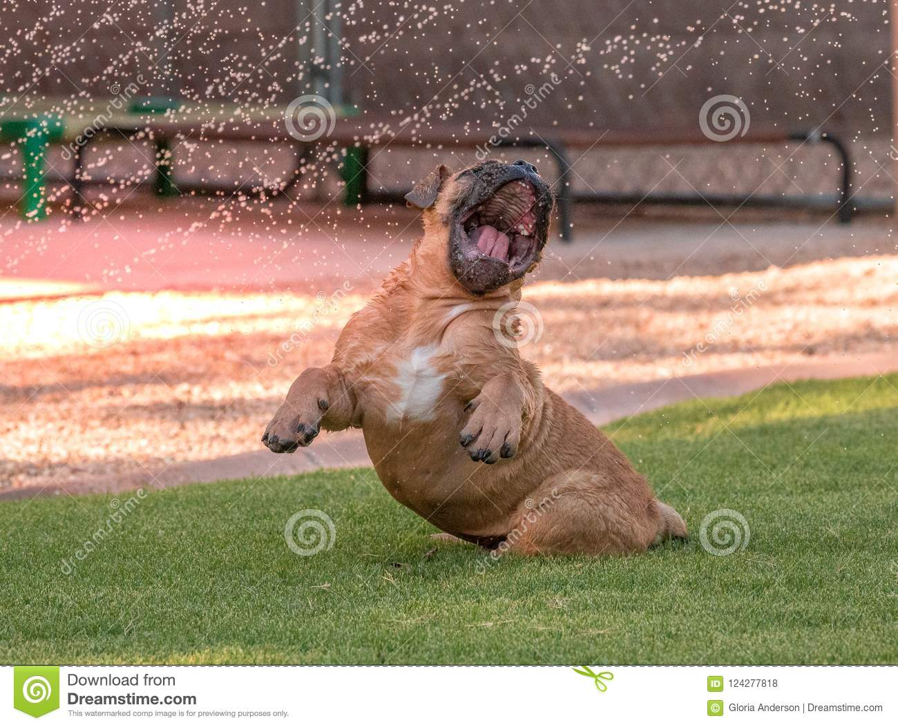 Funny Blind Bulldog Puppy Playing In The Water Stock Photo Image