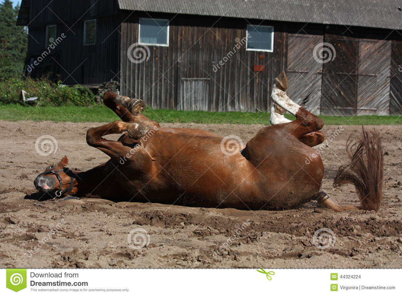 Funny brown horse rolling on the ground stock photo