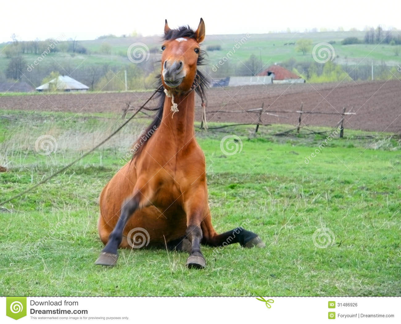 Funny Brown Horse Sitting Royalty Free Stock Image Image