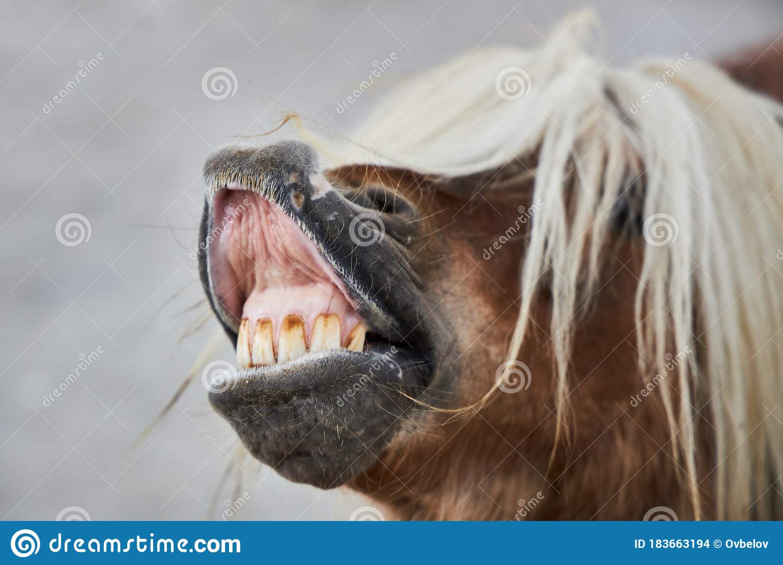 Funny Brown Horse With A White Mane Opened Its Mouth And Shows Teeth Stock Photo Image Of Open Laugh 183663194