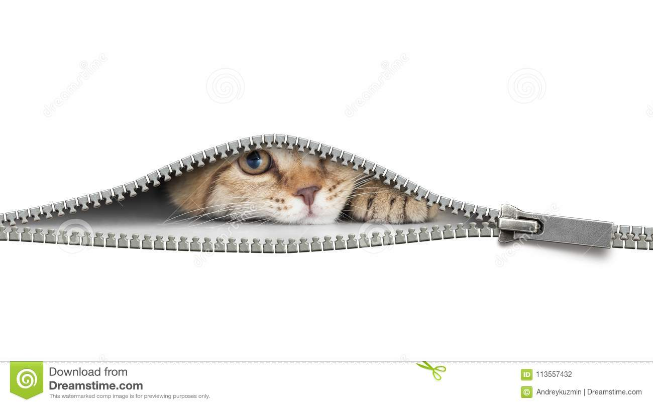 Funny cat behind open zipper isolated on white