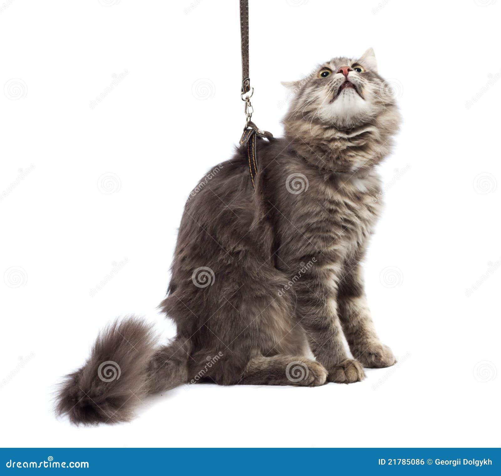 White Cat On Leash