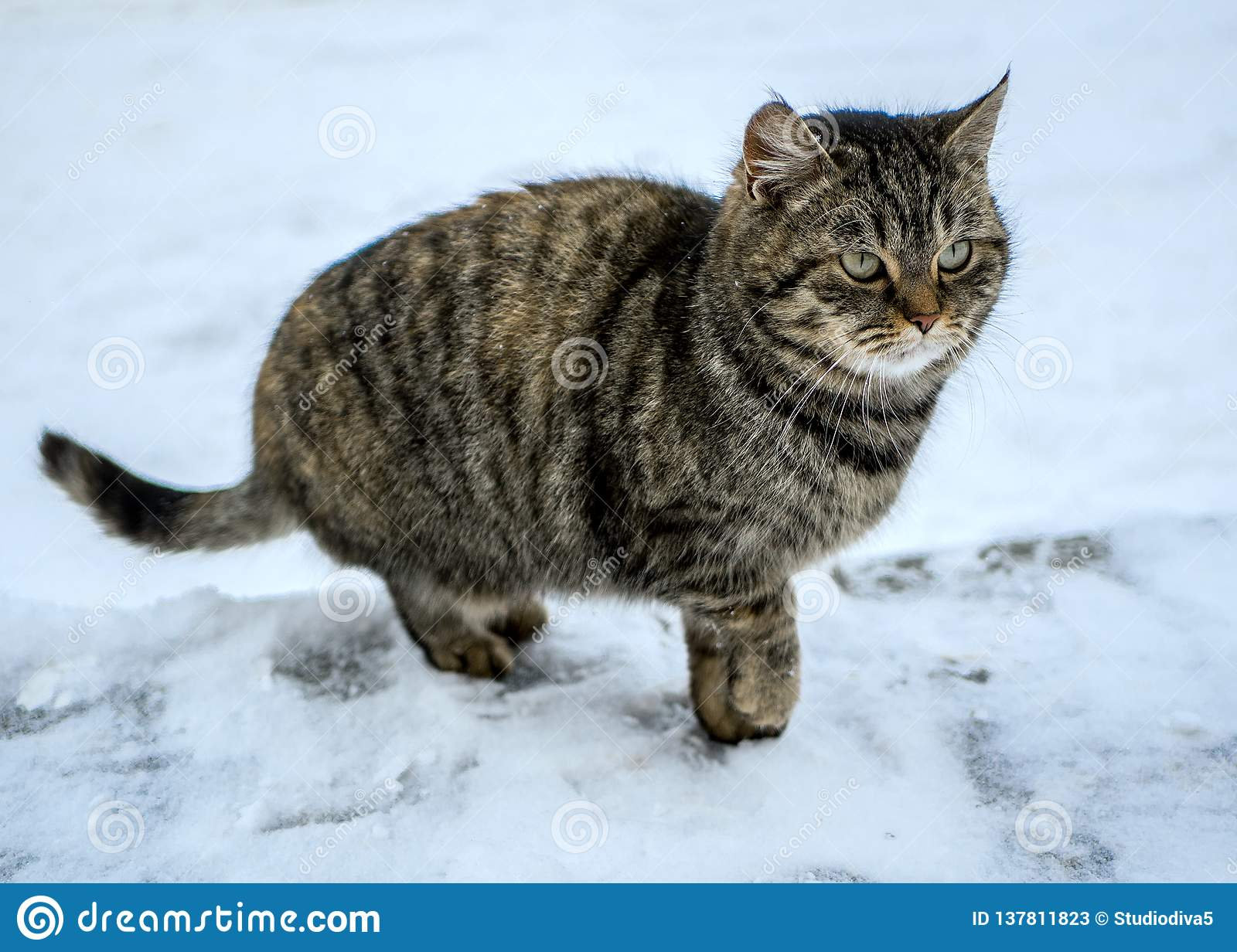 Funny cat outdoors on winter day. Lovely cat.