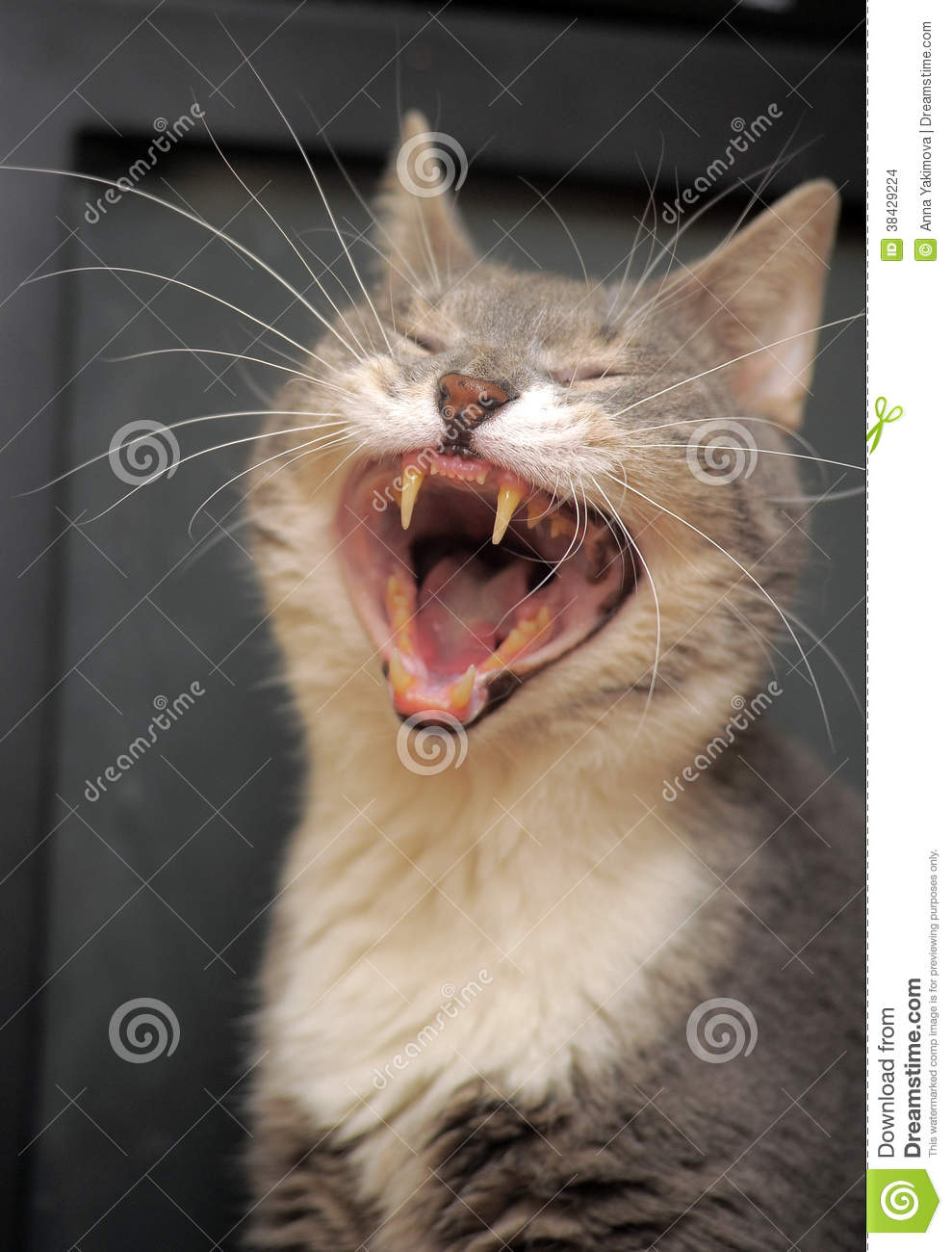 Download Funny Cat Yawns Stock Photo Image Of Iridescent Mouth