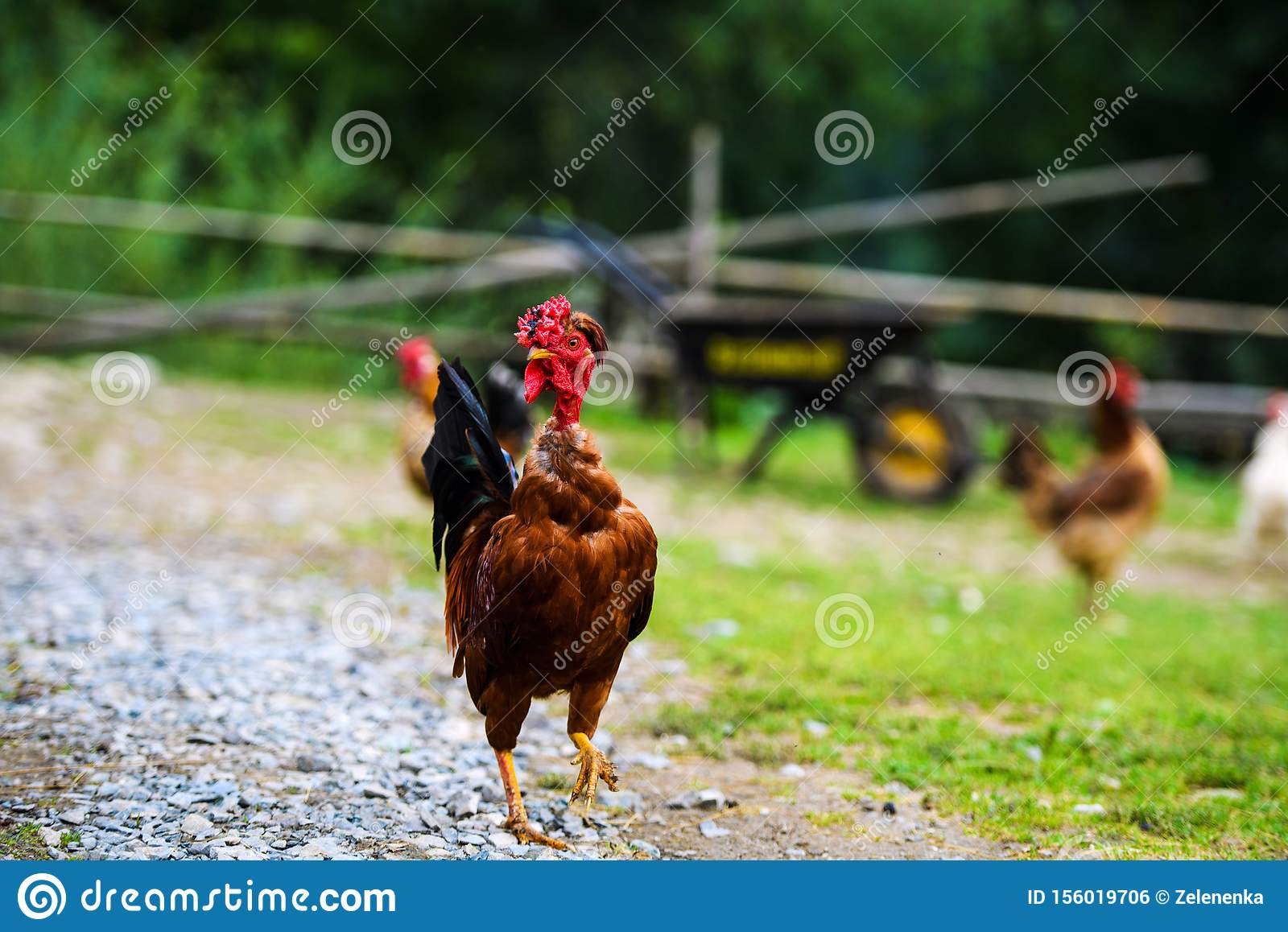 Funny Cock Pics funny chicken on a farm stock photo. image of isolated
