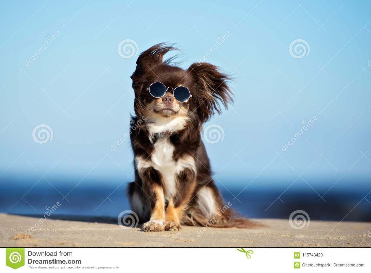 Download Funny Chihuahua Dog In Sunglasses Sitting On A Beach Stock Photo - Image of sunglasses, small: 115743420