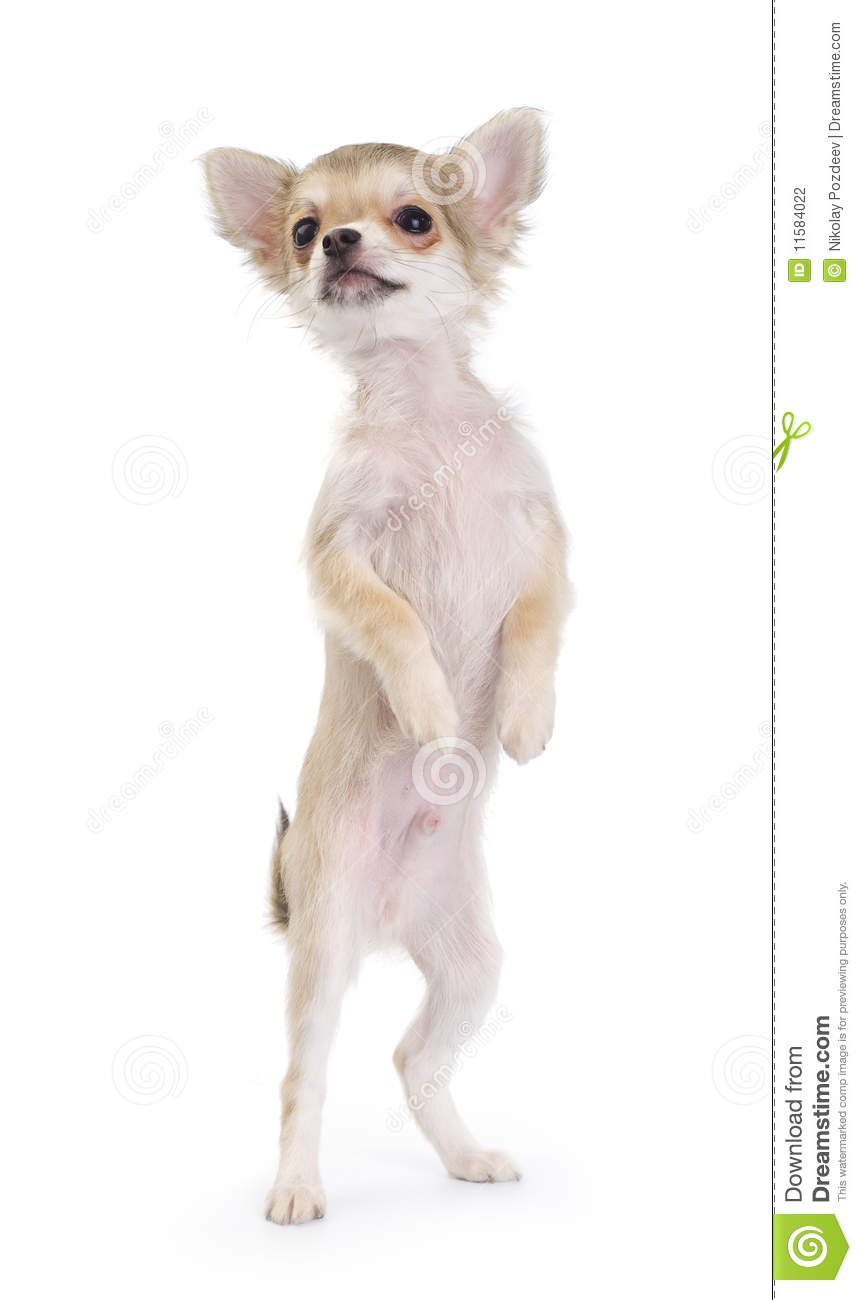 Royalty Free Stock Photo Dirty Car Image26711535 besides Stock Photography Funny Chihuahua Puppy Standing Up Isolated Image11584022 moreover Direwolves Are Real Sort Of additionally Brian Griffin Facts as well Barbie Princess Coloring Pages. on old dog from cartoons