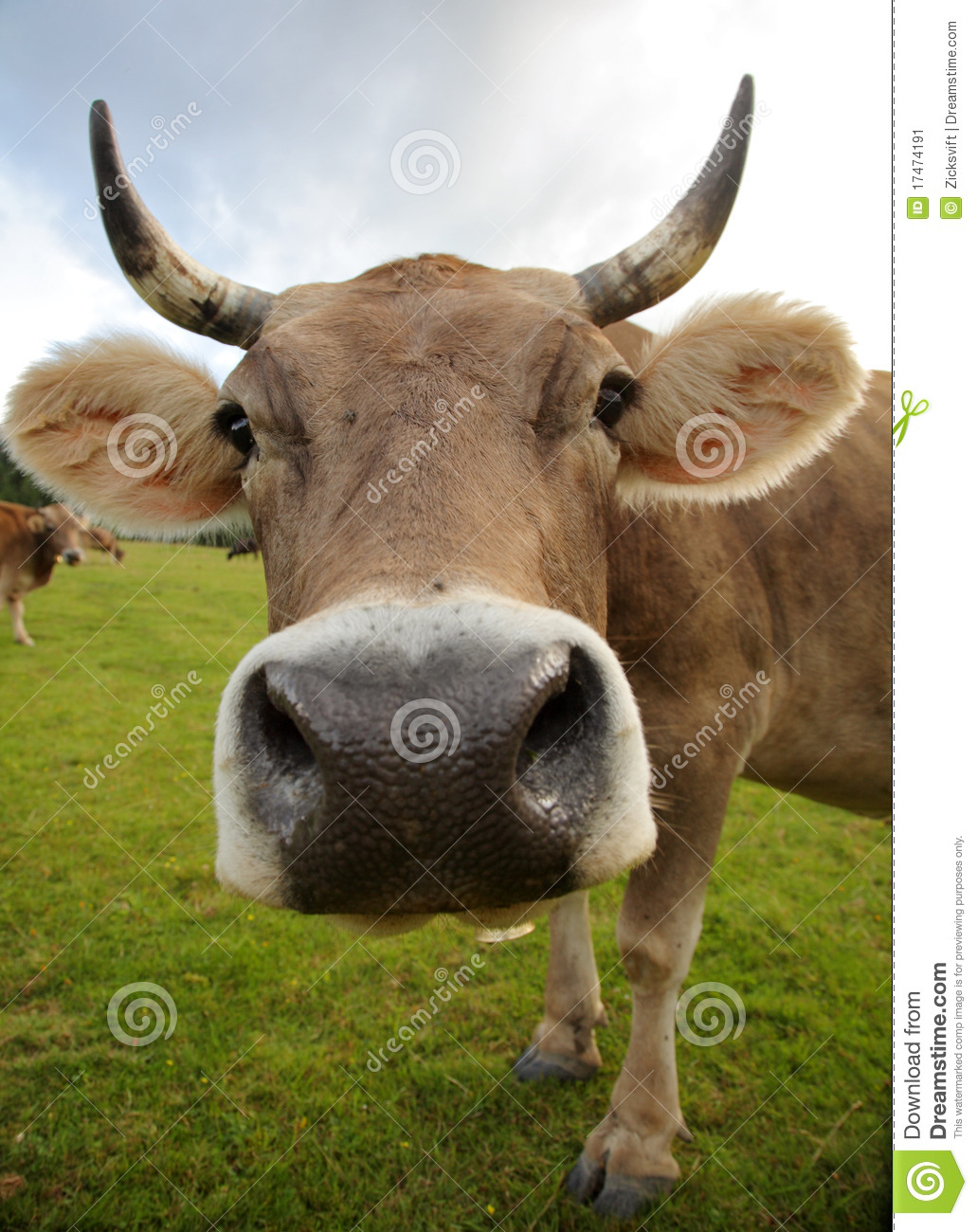 the funny cow stock image image 17474191