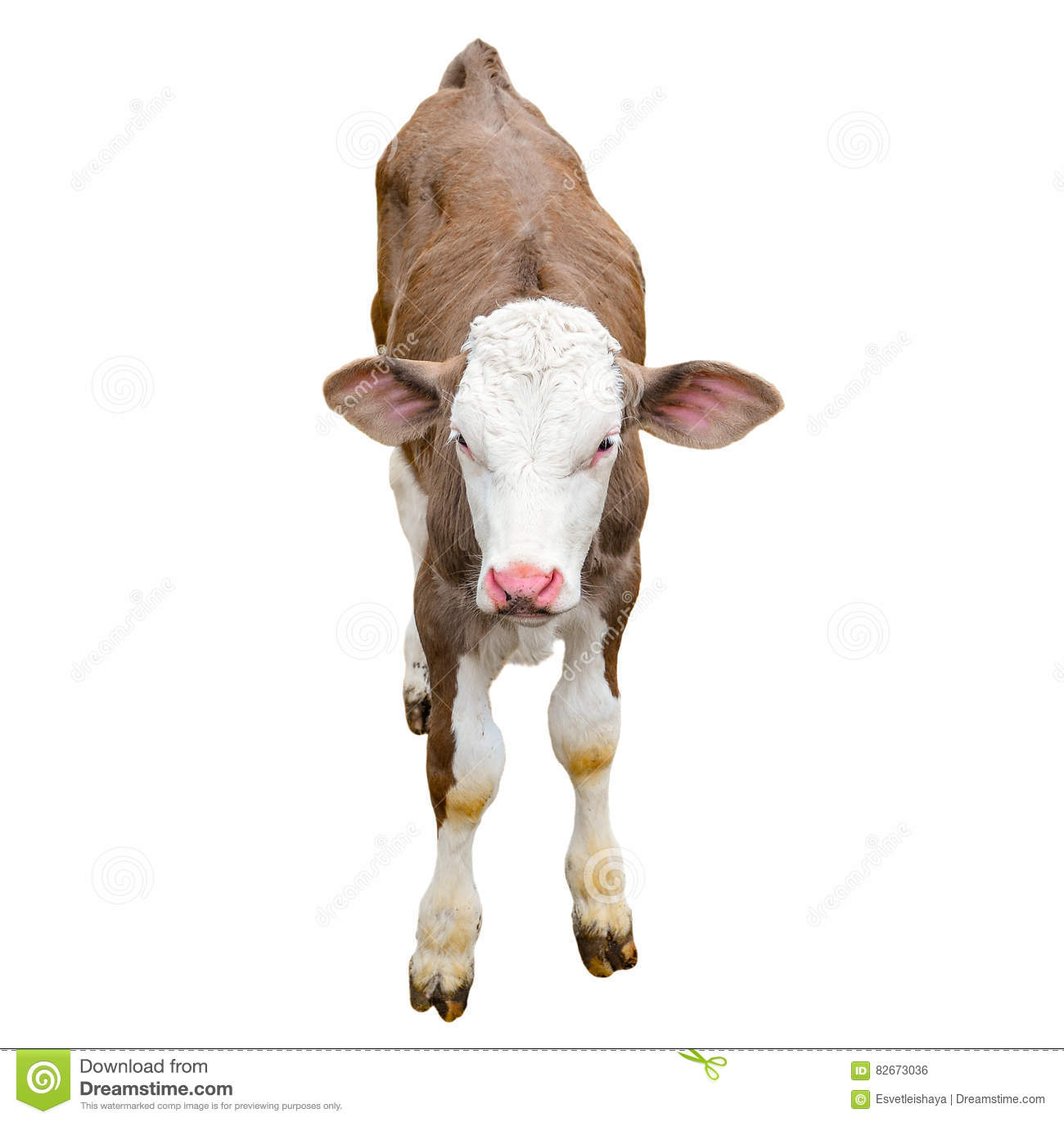 Funny cute calf isolated on white. Looking at the camera brown young cow close up. Funny curious calf. Farm animals.