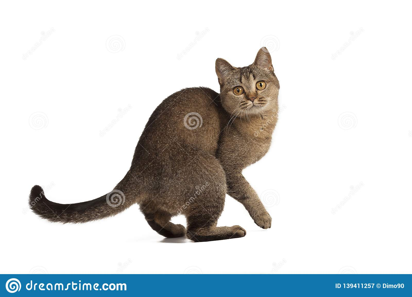 Funny Cute Cat Posing On White Background Stock Image