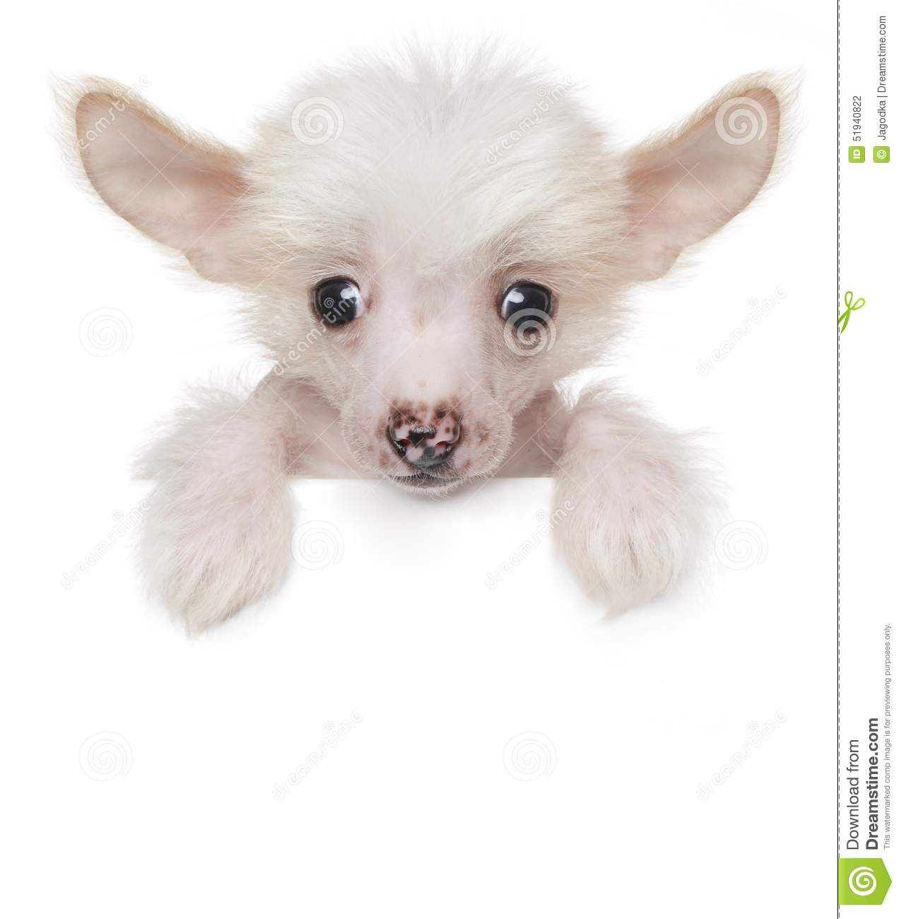Funny Cute Chinese Crested Puppy Above White Banner Stock Photo ...