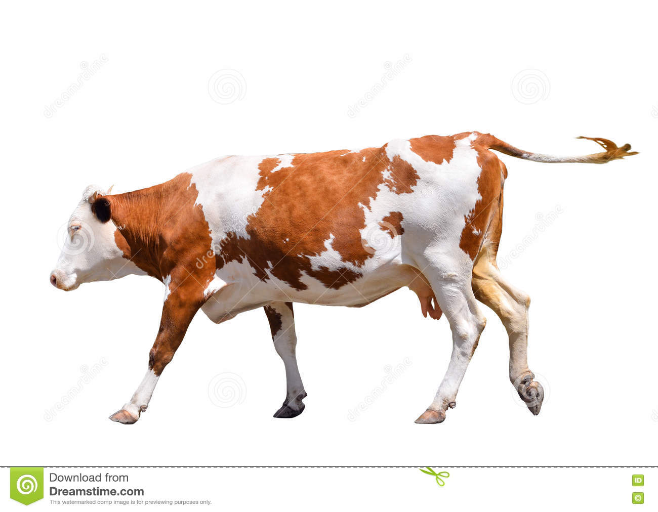 Funny cute cow isolated on white. Jumping red cow. Funny spotted cow. Farm animals. Cow, standing full-length