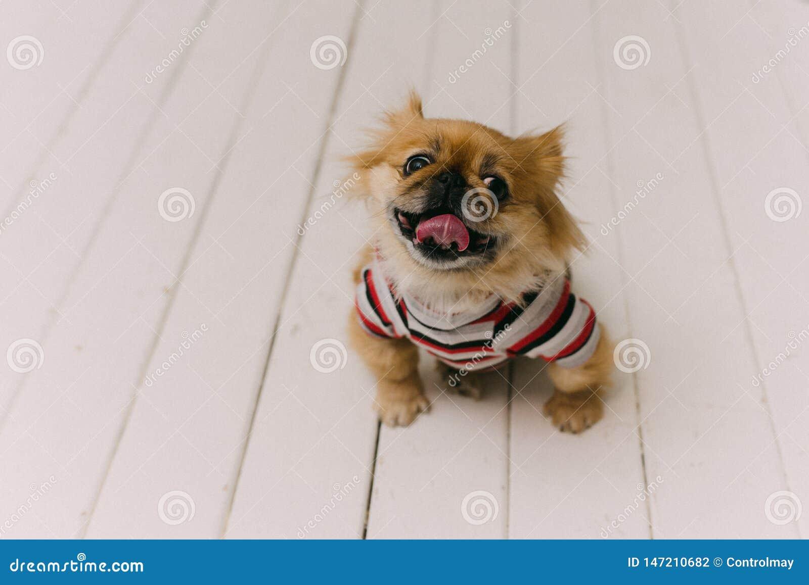 Funny and cute pekinese