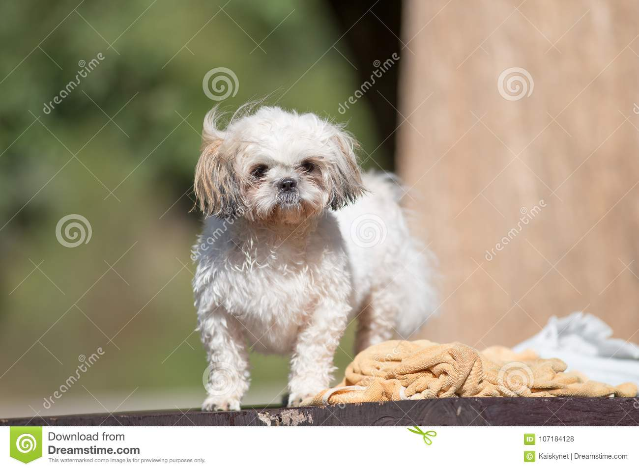 Funny Cute Shih Tzu Puppy Dog After Bath Stock Photo Image Of Animal Clinic 107184128