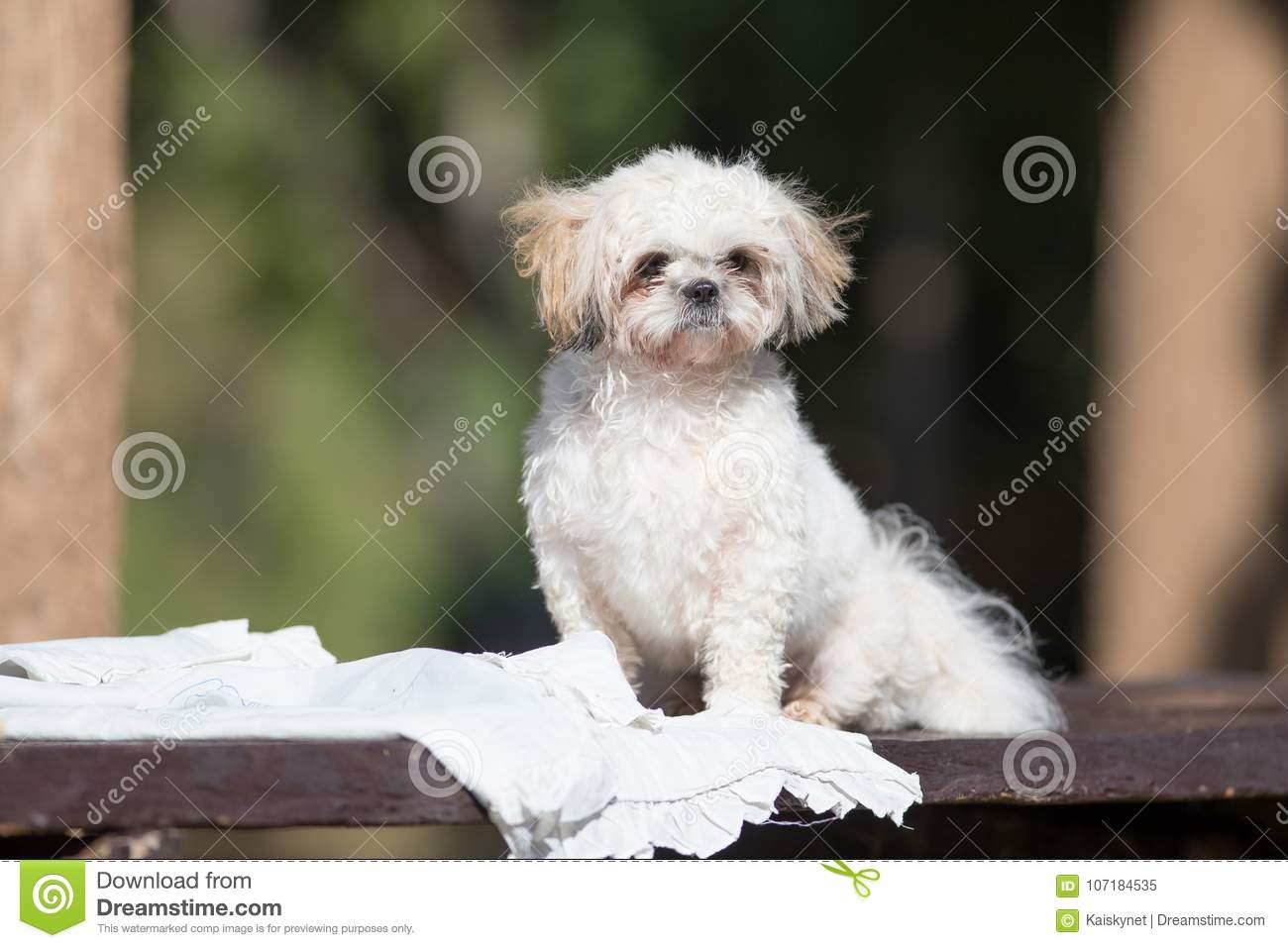 Funny Cute Shih Tzu Puppy Dog After Bath Stock Image Image Of Hair Clean 107184535