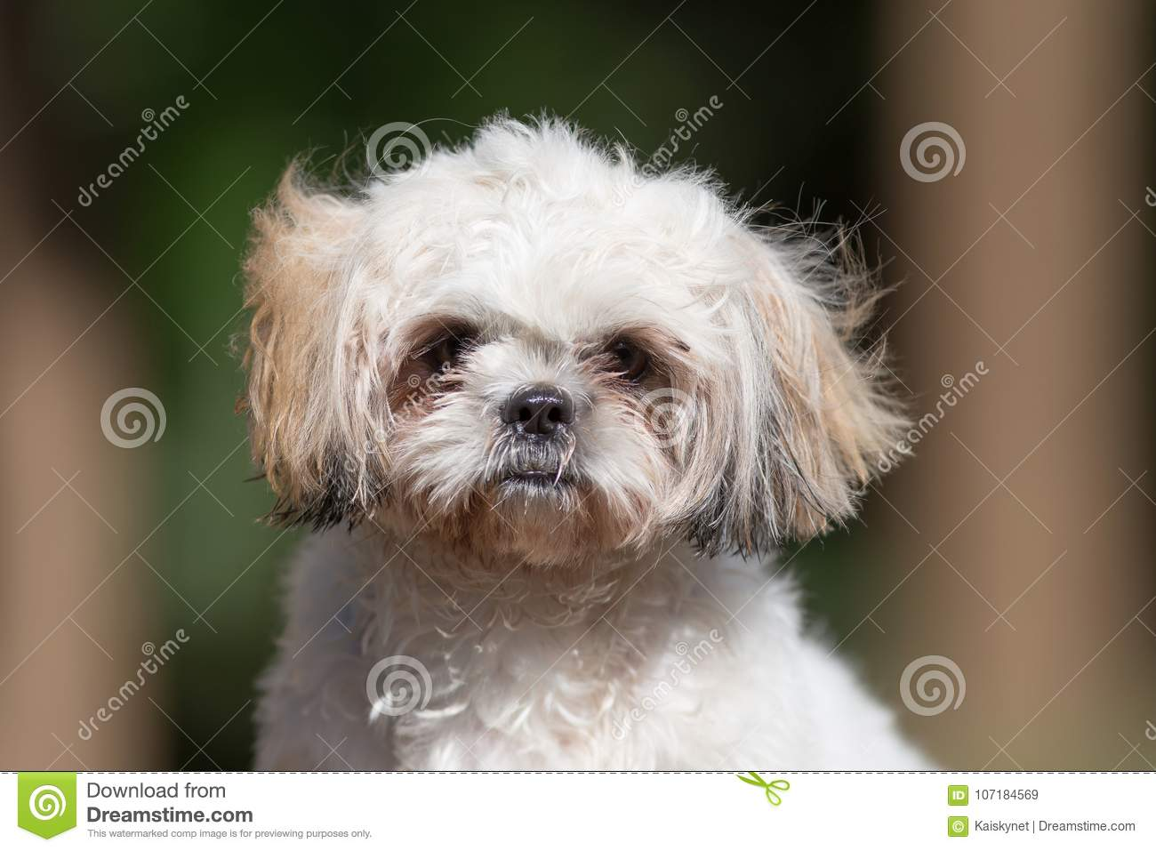 Funny Cute Shih Tzu Puppy Dog After Bath Stock Image Image Of Hygiene Brown 107184569
