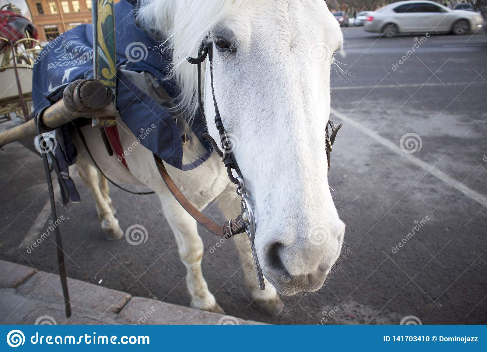 Funny Cute White Horse Harnessed To A Walking Carriage Stock Photo Image Of Mount Background 141703410