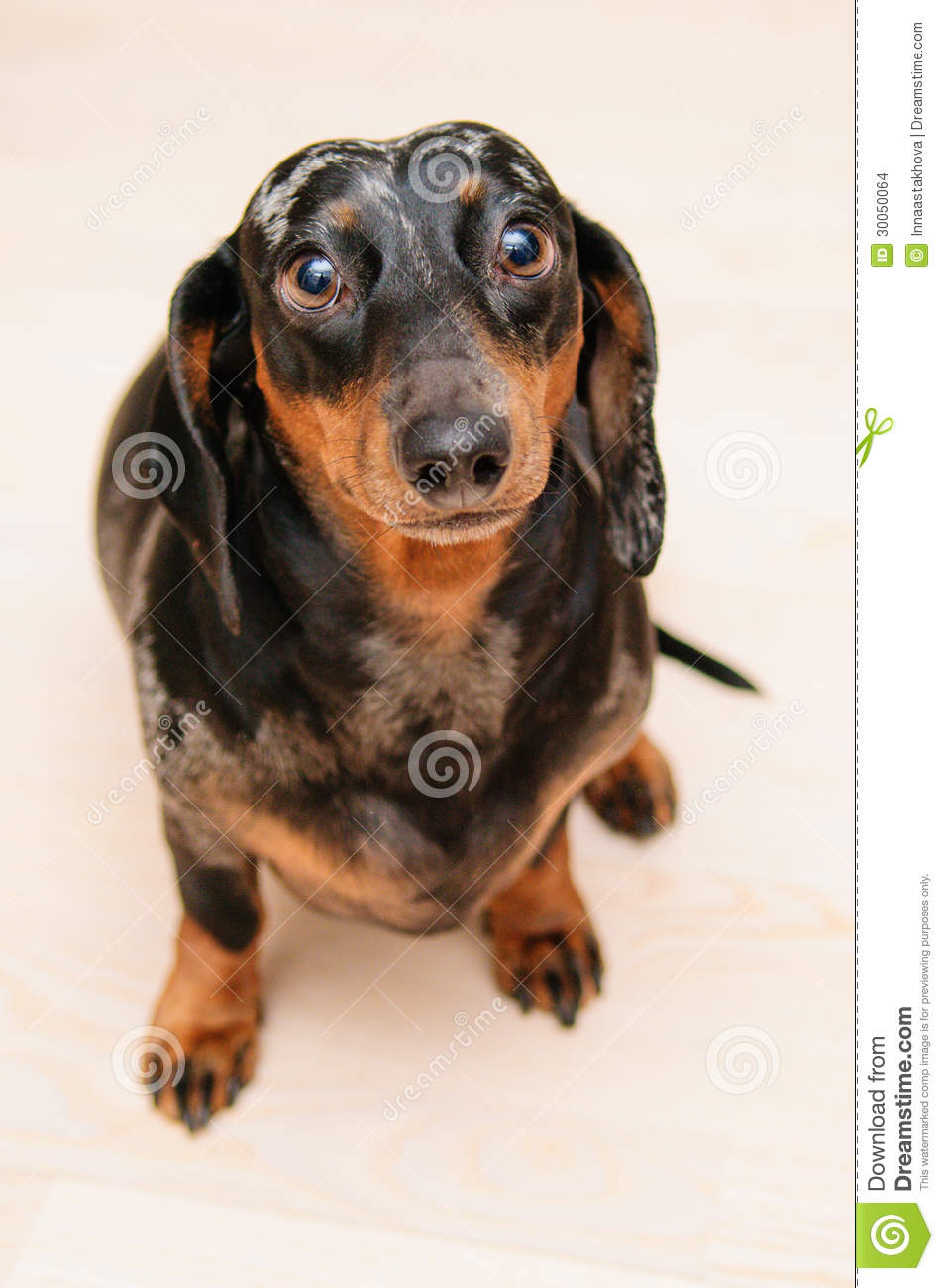 Funny Dachshund Dog Stock Images Image 30050064