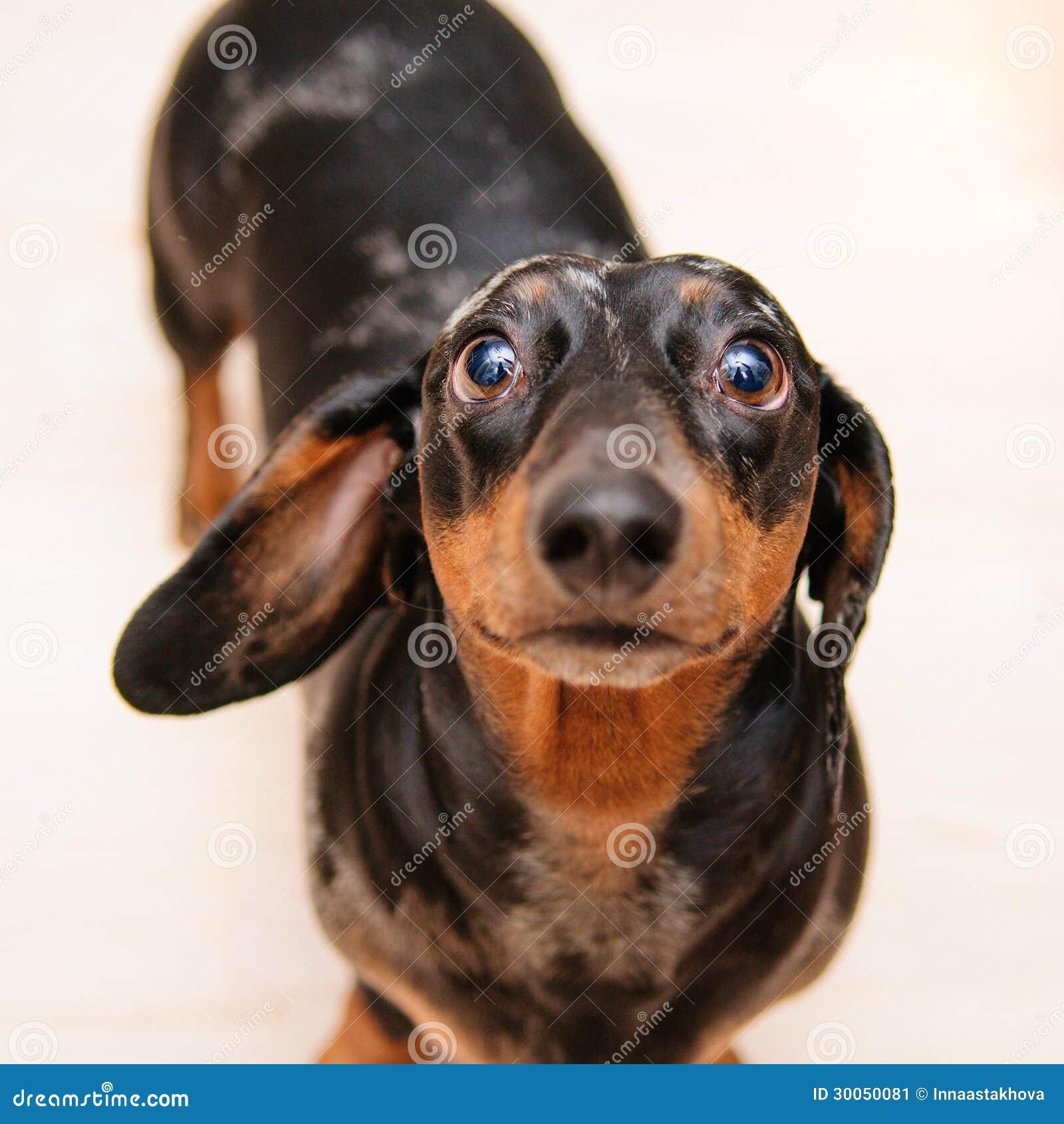 Funny Dachshund Dog Stock Image Image 30050081