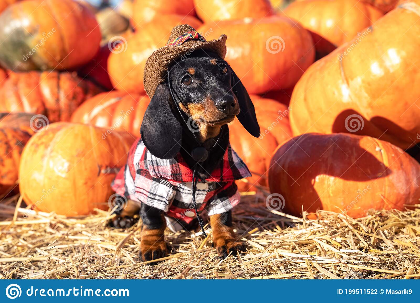 Funny Dachshund Puppy Dressed In A Village Check Shirt And A Cowboy Hat Standing Nearby A Heap A Pumpkin Harvest At Stock Photo Image Of Doggy Agriculture 199511522
