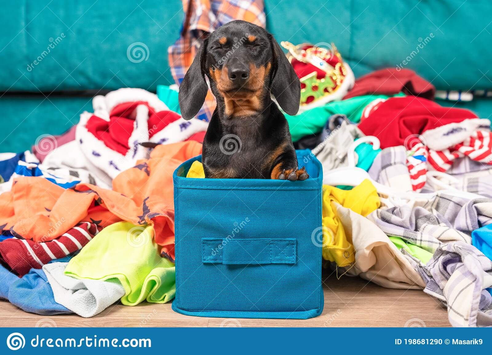 Funny Dachshund Puppy Sits In Cloth Storage Box Screwing Up Eyes In Fear Clothes Scattered Around Naughty Playful Baby Stock Photo Image Of Happy Breed 198681290