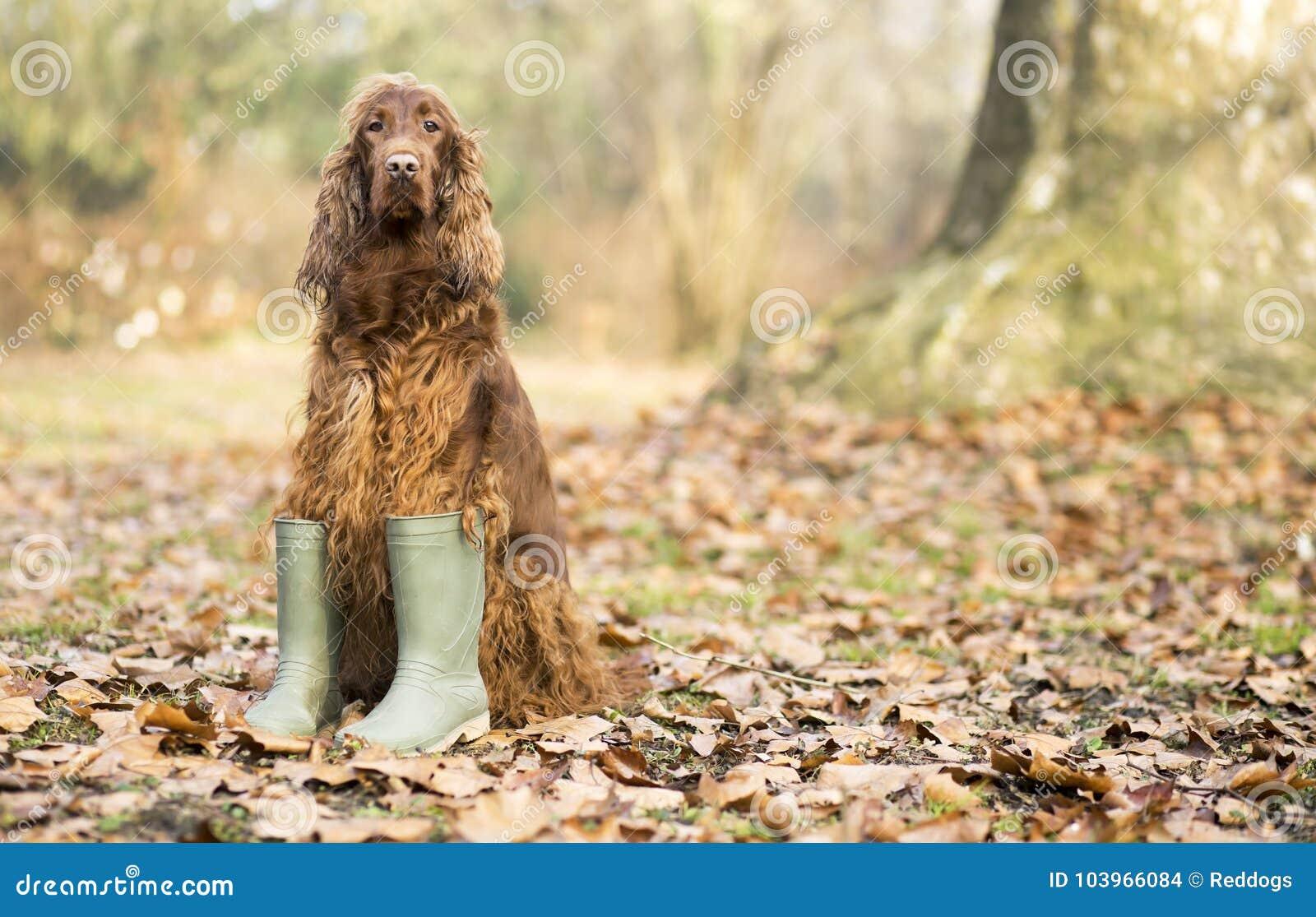 034421fed53 Funny dog in Autumn stock photo. Image of irish, leaves - 103966084