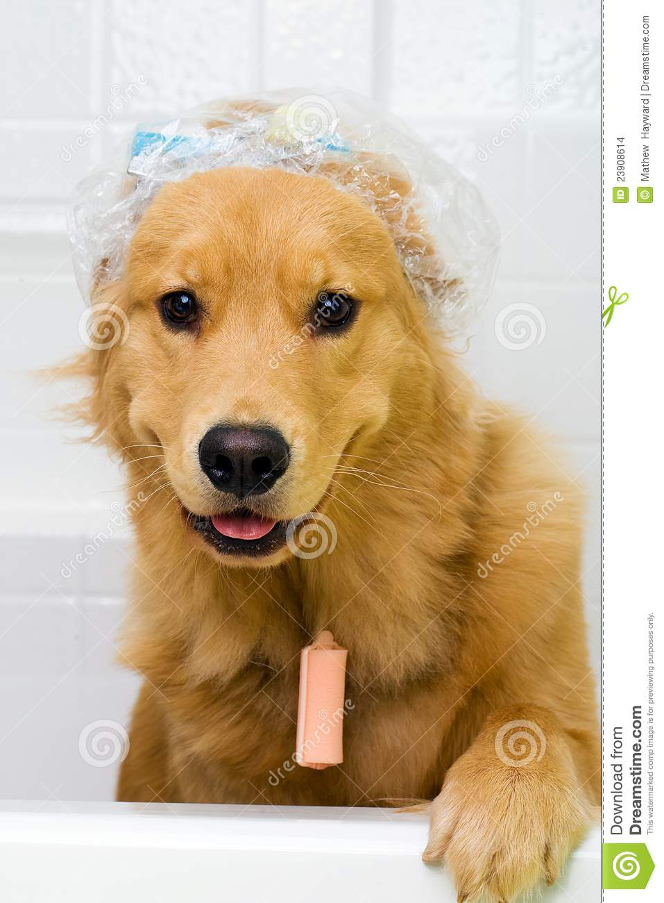 Funny Dog With Hair Curlers And A Shower Cap Stock Images