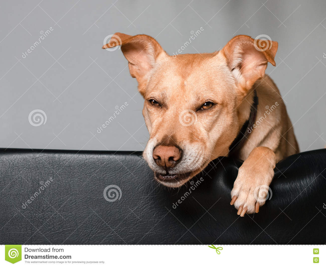Funny Dog Laying In His Bed Stock Photo Cartoondealer
