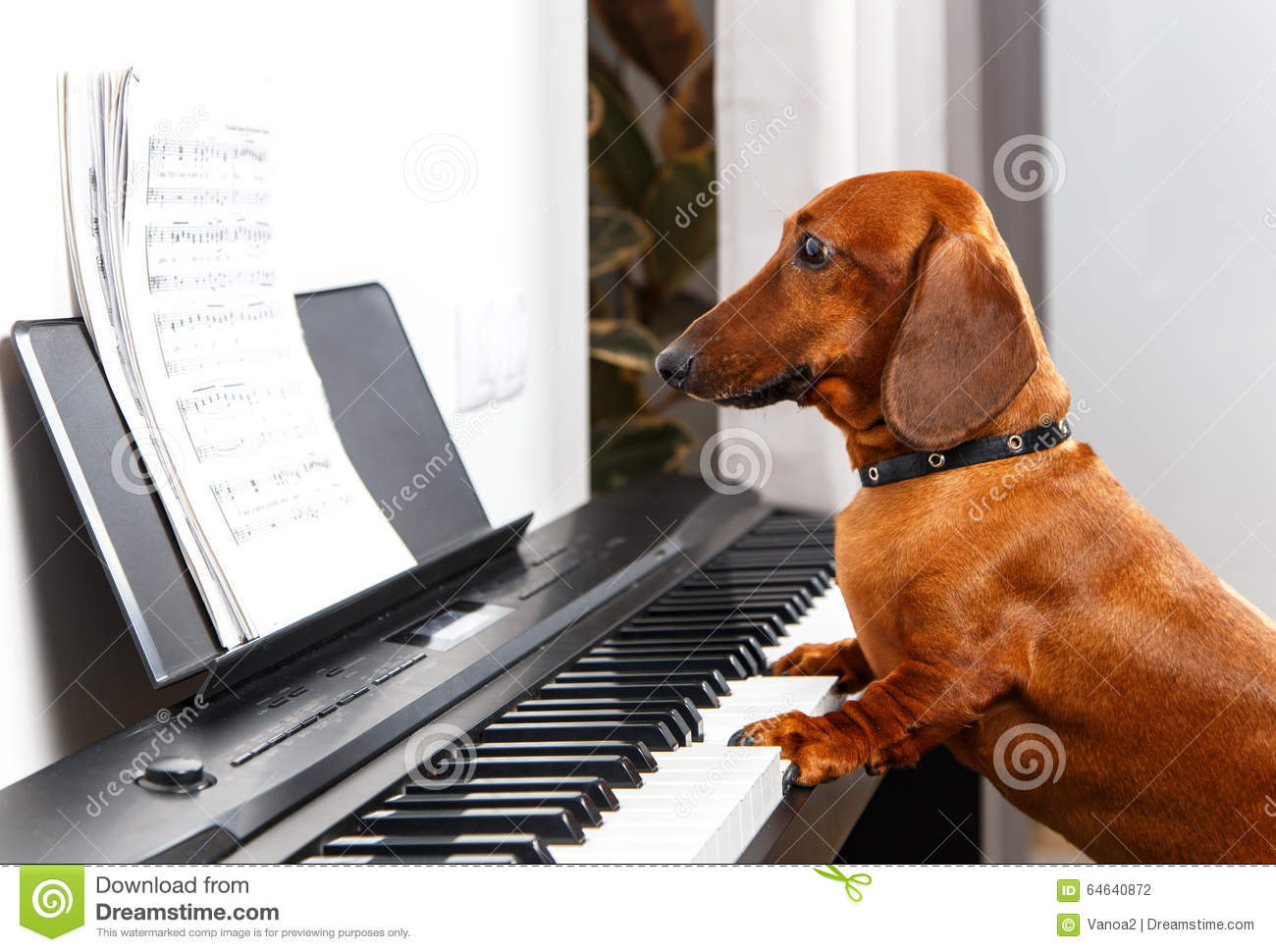 Funny Dog Playing The Piano Stock Photo - Image of rock