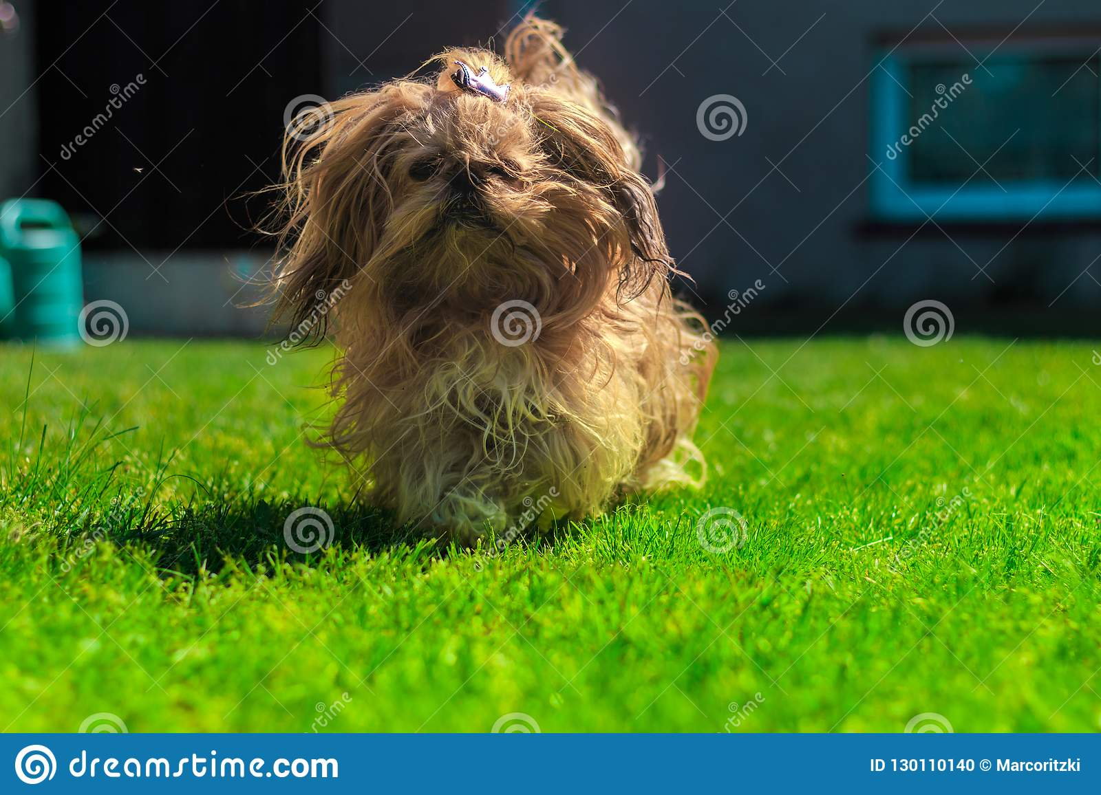 Funny Dog Shih Tzu By Playing On Green Stock Photo Image Of Berlin